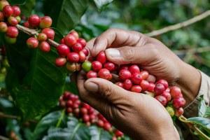 Правда ли, что робуста — показатель плохого кофе?