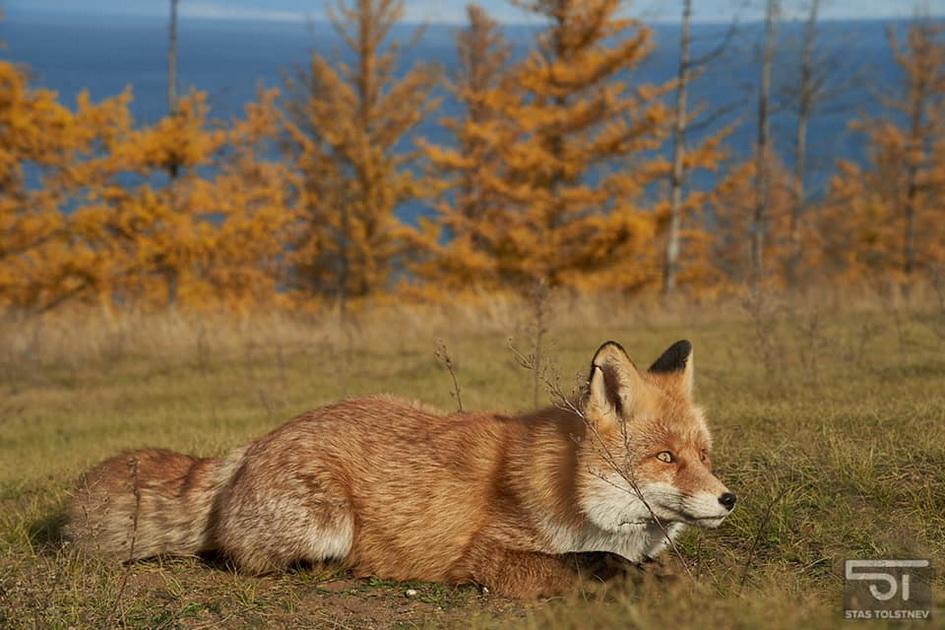 Фото дня: ольхонская лисица вышла на новый уровень