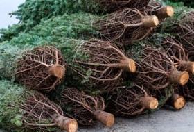 Как выбрать новогоднюю елку?