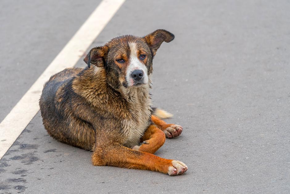 Госдума предлагает убивать уличных собак. Зоозащитники поясняют, почему эта инициатива безграмотная
