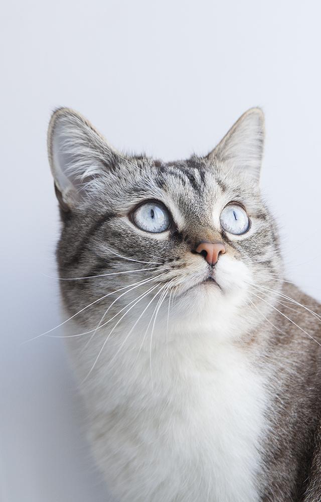 Тайский кот Барсюша c окрасом тебби-пойнт