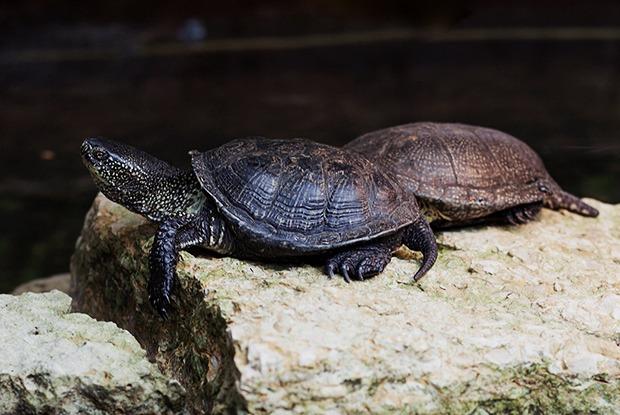 В Металлострое регулярно находят черепах. Откуда они виндустриальном поселке?