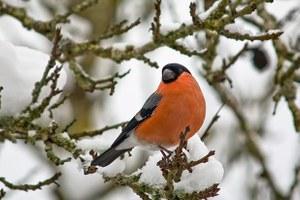 Подкармливать птиц зимой