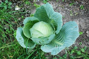 На районе: Как разбить огород и выращивать бесплатные овощи для соседей в Шушарах