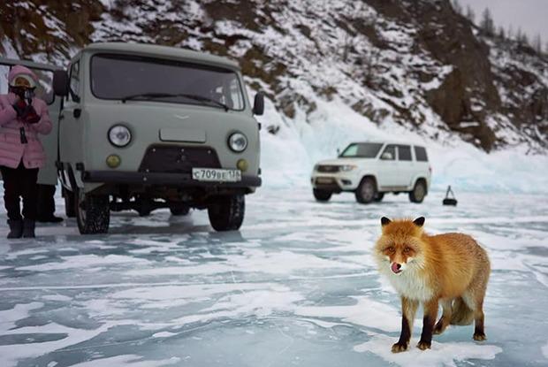 Фото дня: Ольхонская лисица научилась получать пользу от туристов