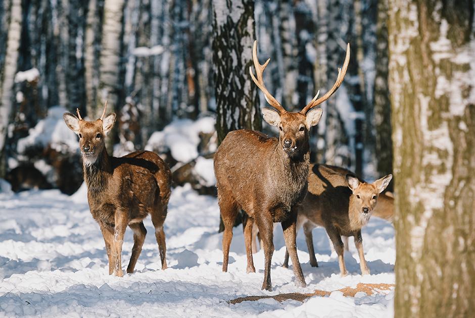 В парке «Лосиный Остров» погибли краснокнижные олени